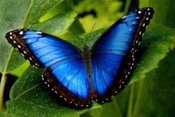 blue morpho Guanacaste